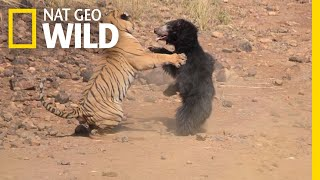 Download Mother Bear Fights Tiger to Save Her Cub in Dramatic Video | Nat Geo Wild Video