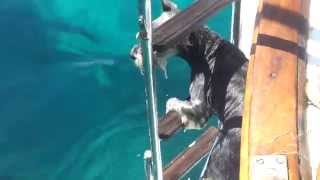 Download Dog taking a dip (schnauzer) Video