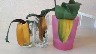 Download У орхидеи пожелтел лист. Что делать? Почему у орхидеи пожелтели листья? Причины и следствия. Video