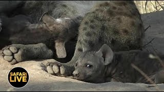 Download safariLIVE - Sunset Safari - April 20, 2019 Video