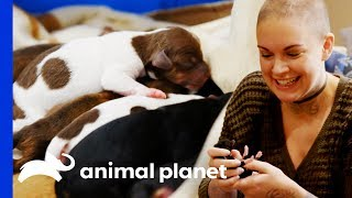 Download Eggo The Chihuahua Gives Birth To 8 Beautiful Puppies! | Amanda To The Rescue Video