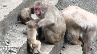 Download Mom caused bullied baby monkey Video