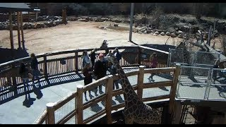 Download Cheyenne Mountain Zoo Outdoor Giraffe Cam2 Video