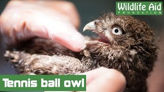 Download Little owl freed from tennis netting Video
