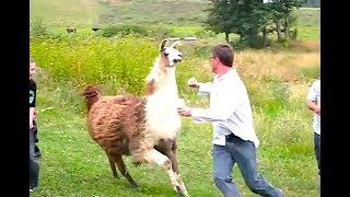 Download Ozzy Man Reviews: When Animals Fight Back #3 Video