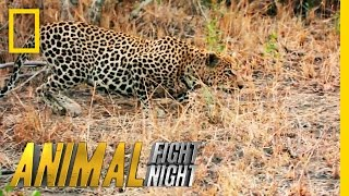 Download It's a Leopard Stakeout | Animal Fight Night Video