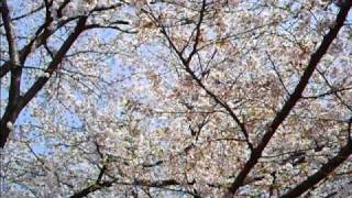 Download さくらさくら (Cherry Blossoms) 琴・尺八 Video