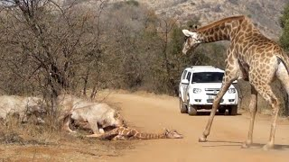 Download Giraffe Tries Saving her Calf From Hunting Lions Video