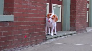 Download Dog Follows Laser Downtown: Cute Dog Maymo Video