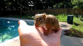 Download Baby Red Squirrel Lost His Mother Video