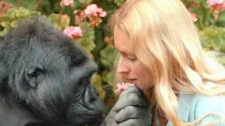 Download Intro to Koko & the Gorilla Foundation Video