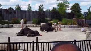 Download Elephants Show at African Lion Safari park, Hamilton, ON Video