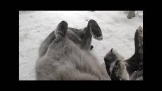 Download International Wolf Center - Celebrating Winter Video