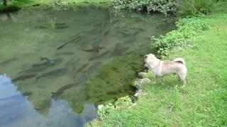 Download 家の池で遊ぶ パグvs鯉 Video