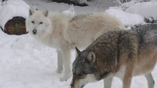 Download International Wolf Center- First Snow of the Season - 27 October 2017 Video