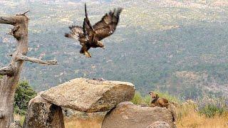 Download El Águila y el Zorro - Parte II Video