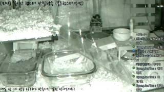 Download [모찌Live/햄스터] 실시간 햄스터 관찰 방송 Hamster Live #16-12-06 Video