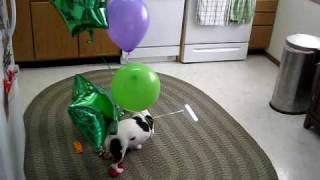 Download DOG vs. BALLOONS IV: AIRBORNE ASSAULT Video