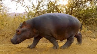 Download Two Orphan Hippos Are Hand Raised   BBC Earth Video
