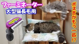 Download 大型猫の長毛種にファーミネーターを使った結果、とんでもない事に!As a result of using a Furminator for a large cat with long hair Video