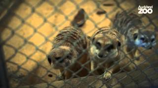 Download Zoo Tales - Meet our carnivores and their keepers! Video