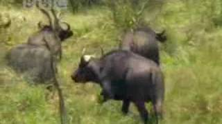Download Buffaloes are bad sometimes BBC Video