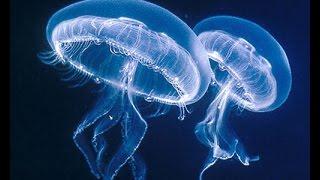 Download Aguas vivas, medusas, jellyfish y vida marina (Espectacular video) Video