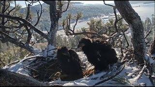 Download Big Bear Eagles ~ Cookie's Last Morning With Mom & Simba 5.27.19 Video