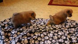 Download Pomeranian Puppies For Sale Video