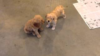 Download Pine State Australian Labradoodle Puppies for Sale Video