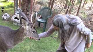 Download Yoda, a friendly Wild Deer Buck Video