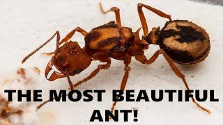 Download THE MOST BEAUTIFUL ANT! Video