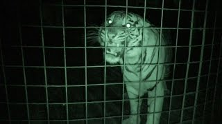 Download What BIG Cats Do At Night… Video