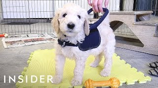 Download How Puppies Train To Be Guide Dogs Video