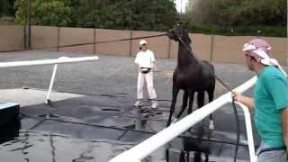 Download Arabian Horses swimming in the Horse Swimming Pool, Sharjah Equestrian Club, UAE Video