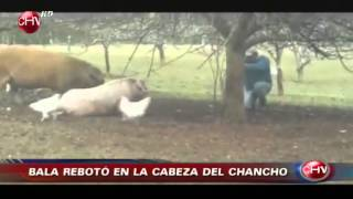 Download le dispara al chancho rebota y le cae en la cara Video