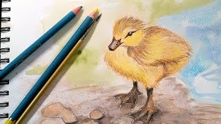 Download Duckling in Watercolor Pencil Real Time Sketch Along! Video