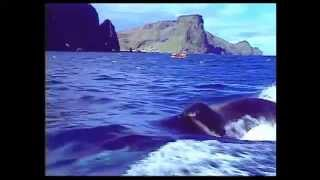 Download ″Keiko: Iceland to Iceland″ / A Film by Michael Harris for Craig McCaw and Keiko Project Video