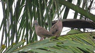 Download Berburu burung tekukur ketemu burung punai lagi... Video