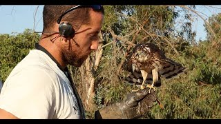 Download Imprinting, Hacking, Training and Hunting with a Cooper's Hawk for Falconry Video