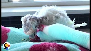 Download Rescued Parrot Says Goodbye To Bird Best Friend With Cancer | The Dodo Video