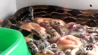 Download ¡Boas Constrictor naciendo! - El Terrario Feliz Video