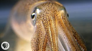 Download You're Not Hallucinating. That's Just Squid Skin. | Deep Look Video