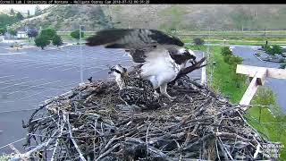 Download Iris Brings In Large Strip of Bark, Builds Up Rim Of Nest – July 12, 2018 Video