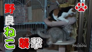 Download 野良猫が襲ってきた【瀬戸の猫部屋日記】Stray cat came to the cat room Video