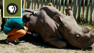 Download Caring for Sudan, the World's Most Famous Rhino Video