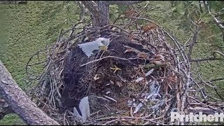 Download SWFL Eagles ~ The Art Of Nest Building; Special Branch & Fish Head For Harriet 10.21.17 Video