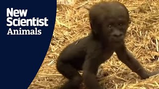 Download Baby gorilla takes first steps Video