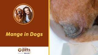 Download Mange in Dogs - Symptoms and Treatment Video