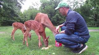Download Ep 7: My Deer Friends and New Fawns! :-) Summer 2017 Video